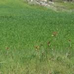 Ailanthus and grassland