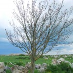 Isolated Ailanthus near a quarry