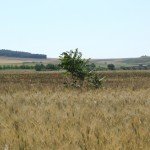 Ailanto in un campo di grano