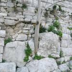 Ailanto accresciuto nel muro del castello di Minervino Murge