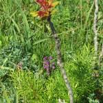Anacamptis morio (orchid) and Ailanthus