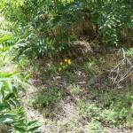 Crocuses and Ailanthus