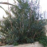 Ailanthus in una siepe di oleandro