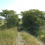 Ailanthus  in the grassland