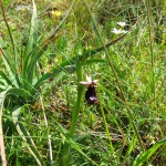 Wild orchid (Ophrys bertolinii)
