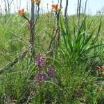 Orchids (Anacamptis morio) and Ailanthus