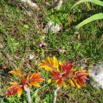 Orchids (Ophrys bertolonii) and ailanthus