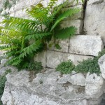 Ailanthus on the wall