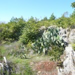 Ailanthus in a rocky area