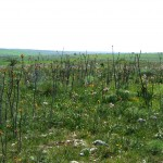 Grassland infested by Ailanthus