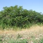 Fabbricato rurale ricoperte da piante di ailanto